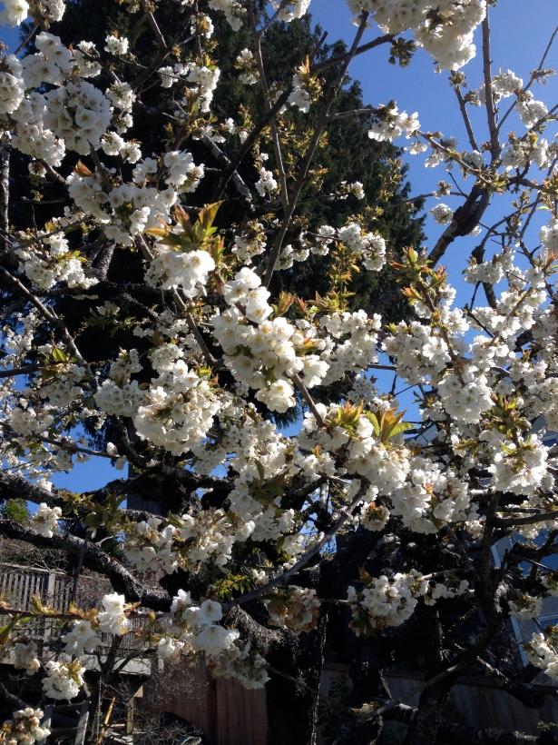I love cherry blossom season.